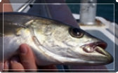 Link to articles on fishing for cod