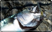Picture of a mackerel and link to several articles on fishing for them.